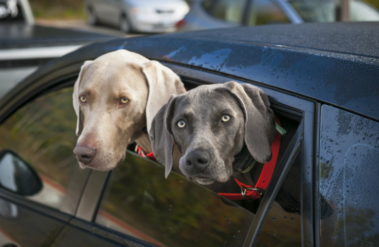 Taking a road trip with pets